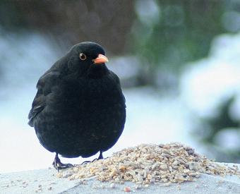 tumblr lc75viFRDN1qf2p8io1 4001 คุณเคยเห็น Angry Birds ตัวจริงแล้วหรือยัง ?